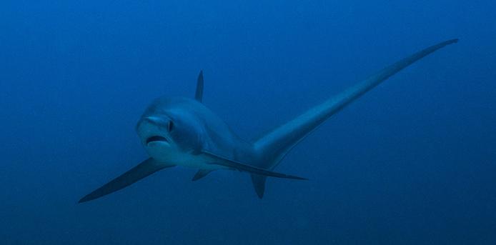 Devocean_divers_fun_diving_thresher_shark